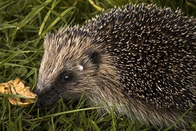Hedgehog   Free Early Years & Primary Teaching Resources (EYFS & KS1)