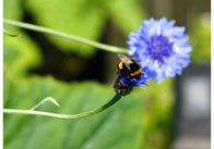 Bee on a Blue Flower 3