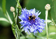 Bee on a Blue Flower 2