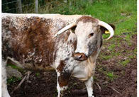 Photograph of a Cow