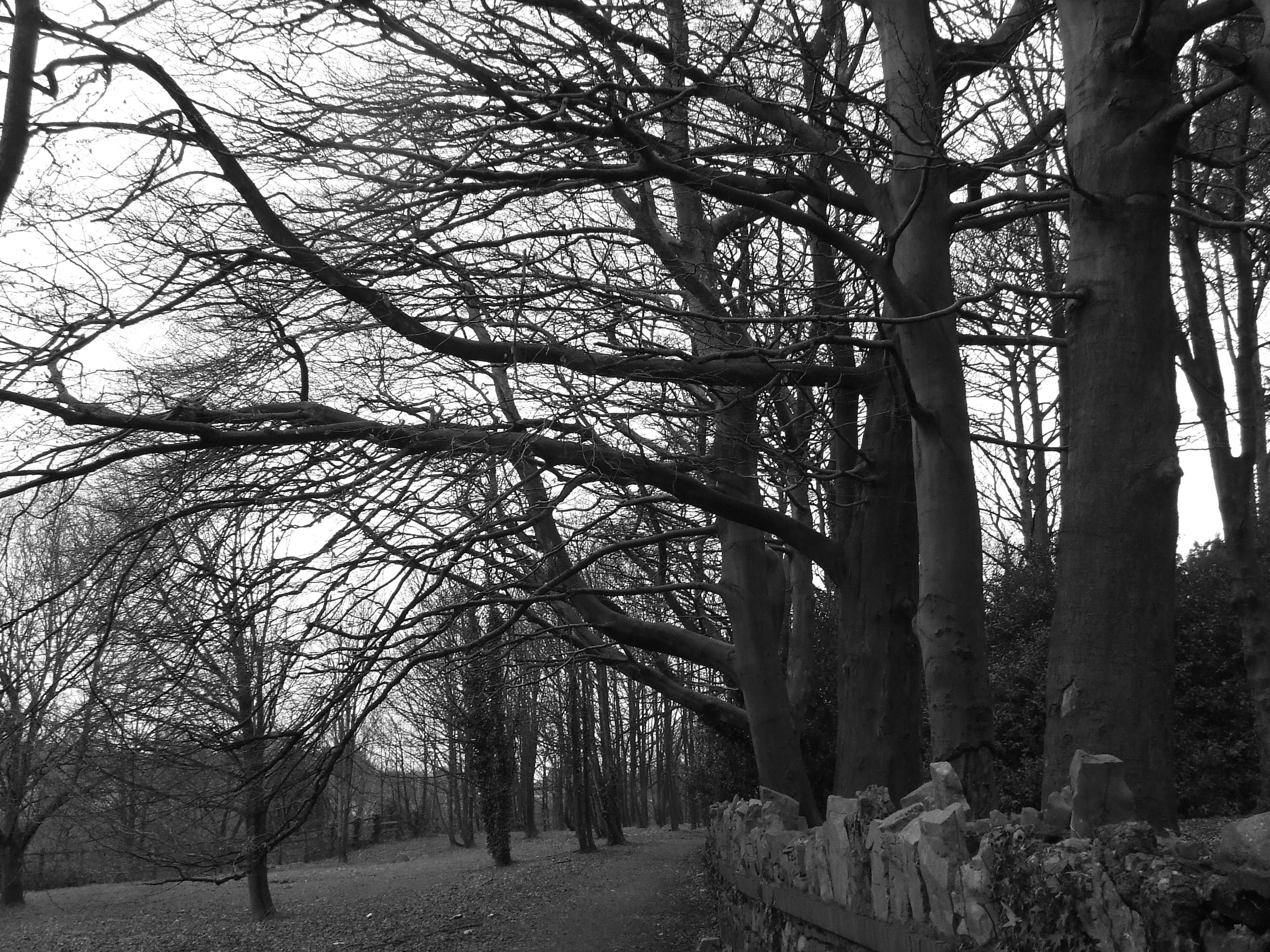 Free Images : tree, forest, branch, winter, black and ... |Winter Forest Black And White
