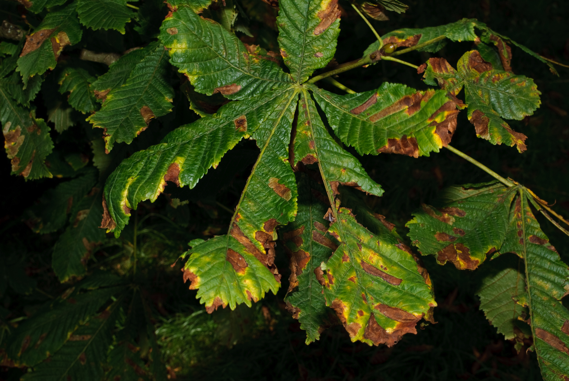 Horse Chestnut Tree In Autumn