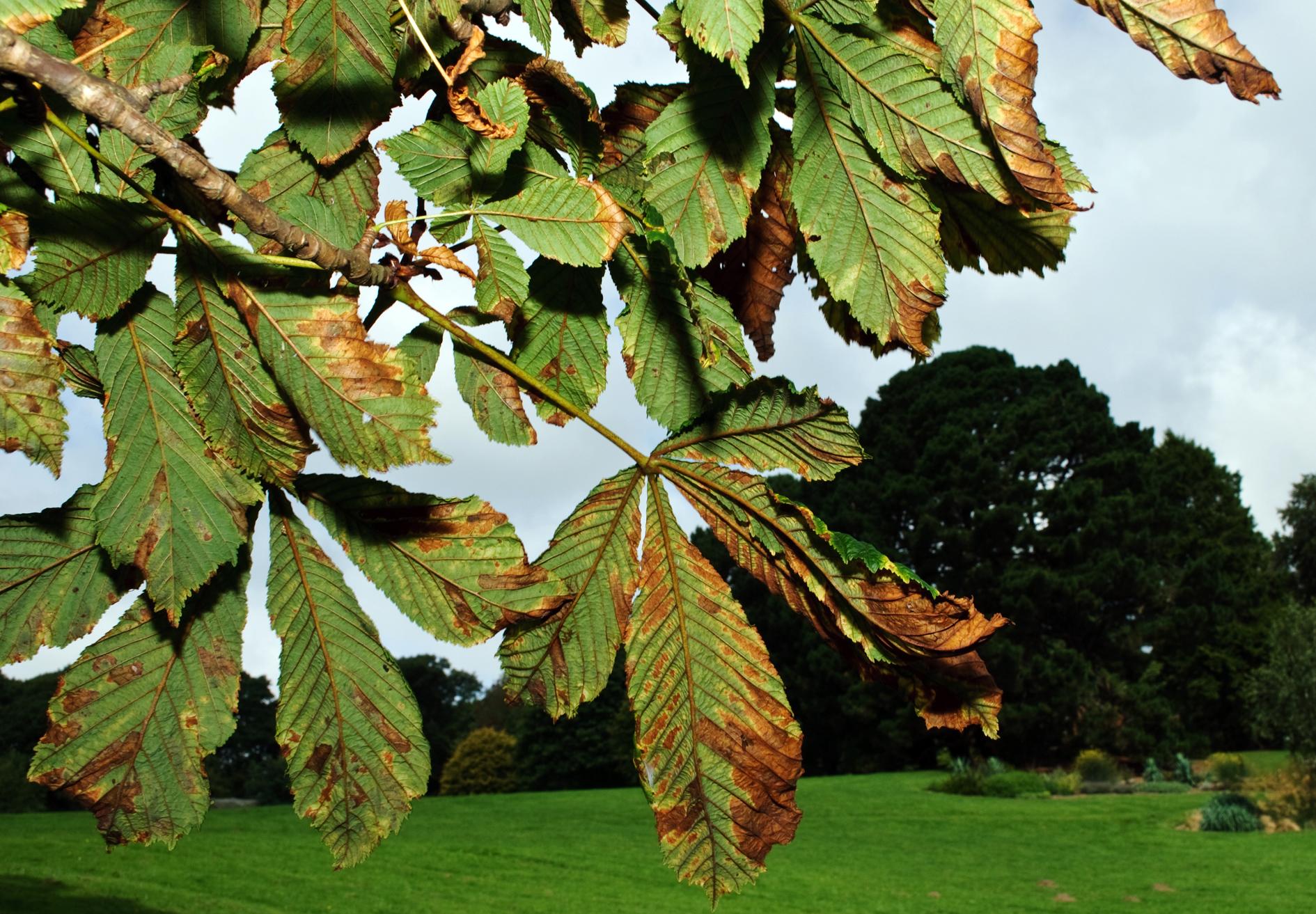 horse chestnut tree in autumn 2
