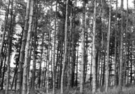 Pine Forest (Black and White)