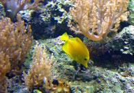Tang Fish 3