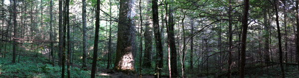 Forest Panoramic Photo
