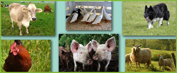Farmyard animals