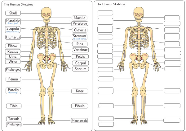 Human Skeleton Diagram Labelling Sheets Free Early Years Primary
