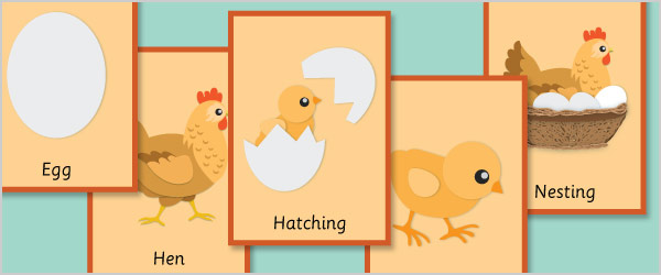 Hen Life Cycle Flash Cards