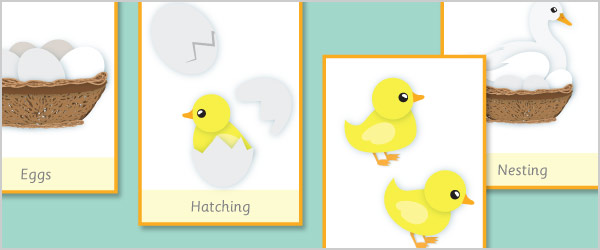 Duck Life Cycle Flash Cards Free Early Years Amp Primary