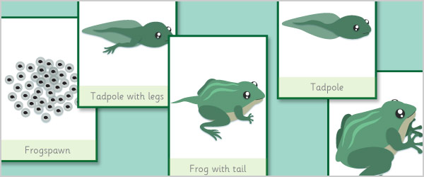 Frog Life Cycle Flash Cards