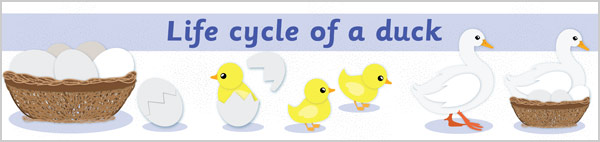 Life Cycle of a Duck Display Banner